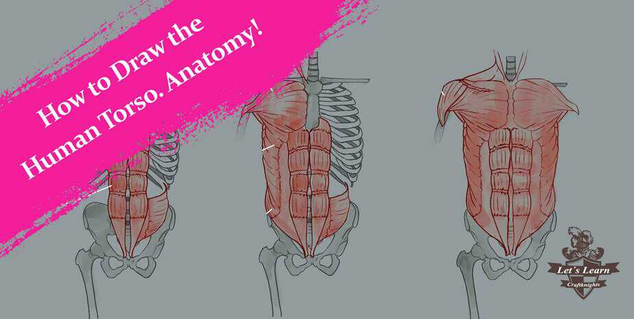 How to Draw the Human Torso. Learn the Anatomy and Forms.